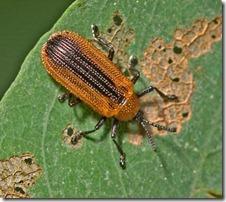 Locust_Leafminer