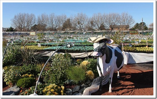 110211_AnniesAnnuals_cow