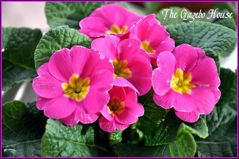 primroses framed