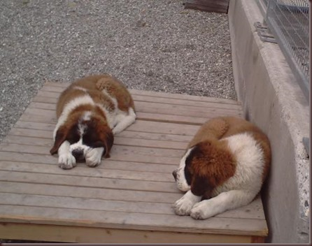 Amazing Animal Pictures St Bernard (10)
