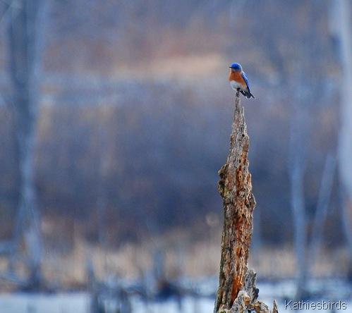3. bluebird at bog-kab
