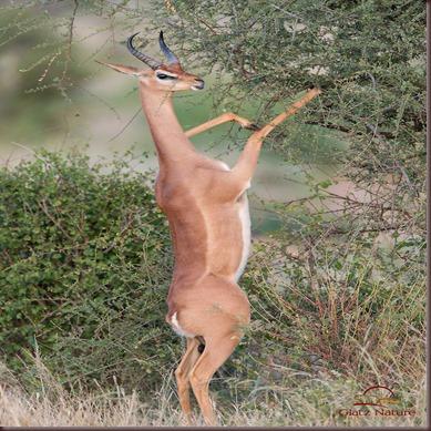 Amazing Animal Pictures Gerenuk (3)