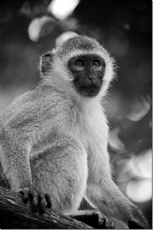 Fotos preto e branco de animais selvagens (18)