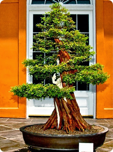 bonsai_baldcypress