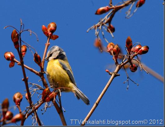 sinitiainen  lintuja 021