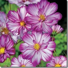 cosmos bipinnatus 'sweet kisses'