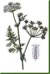 Carum roxburgianum