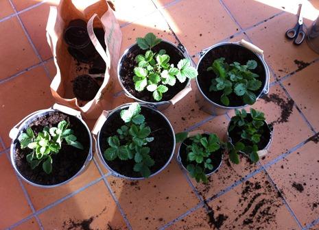 efter plantering
