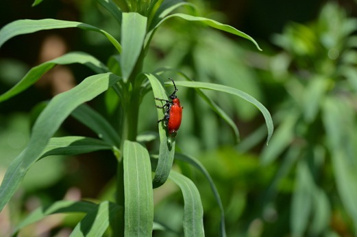 Lilioceris lilii - Red lily beetle or Llily beetle