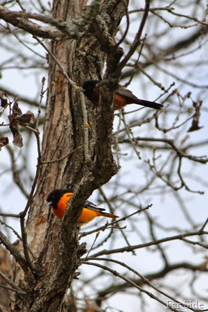 Baltimore and Orchard Orioles