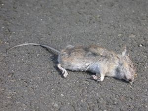 [dead_mouse5.jpg]