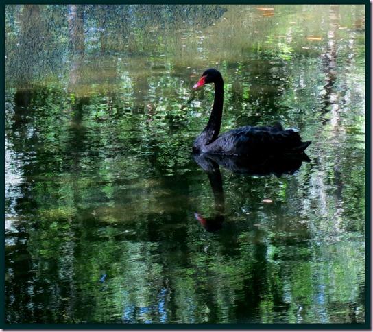 BlackSwanPMIMG_2936