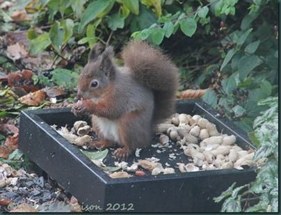 red-squirrel (4)