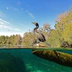 cormorant half&half