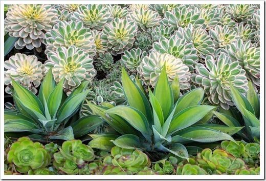 120929_SucculentGardens_Aeonium-Sunb[2]