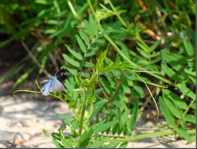 sunnuntain ötökkä kuvat outo perhonen toukka 109