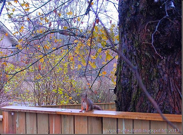 lauantain sää kuvia orava 017