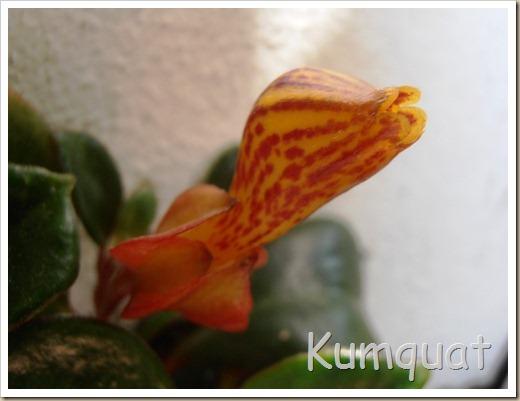 nematanthus 3