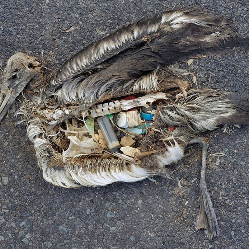 Saddening Images of Dead Sea Birds With Plastic in Their Stomach