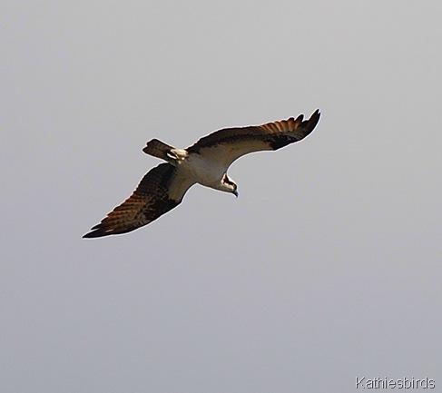 2. osprey-kab