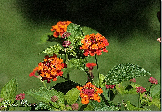 Lantana_DallasRed_June29