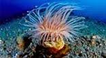 Méditerranée grotte sous-marine cérianthe