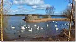 Mute swans Feb 2015