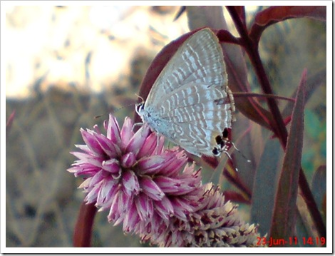 The Peablue, Pea Blue, or Long-tailed Blue (Lampides boeticus) 5