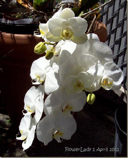 nanci-orchids7