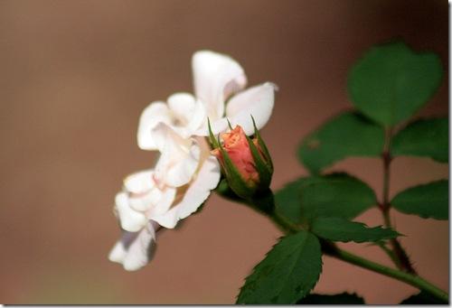Bonica_Roses