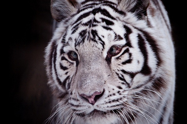 Cross-eyed White tiger