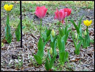 04b - Tulips