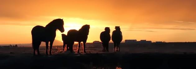 Icelandic horses at Vatnsholt