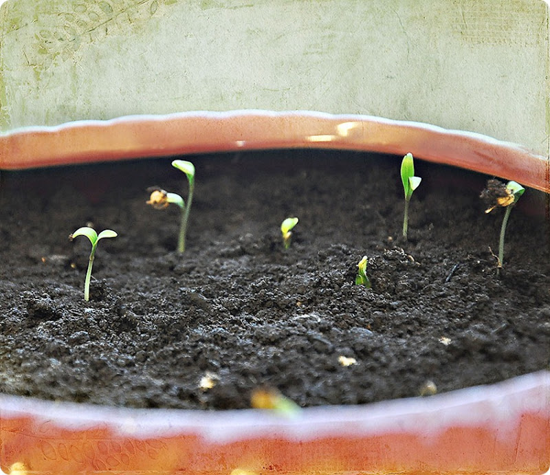 Coriander-sprouts