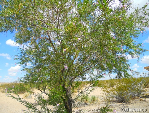2. Desert willow-kab