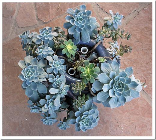 111217_echeveria_blue_azure1