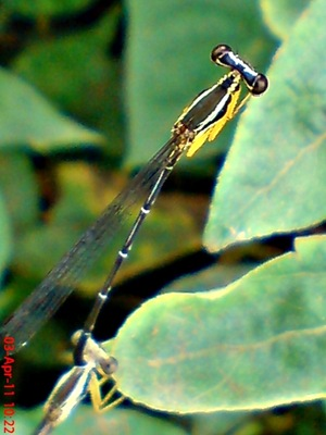 damselfly mating_capung jarum kawin 10