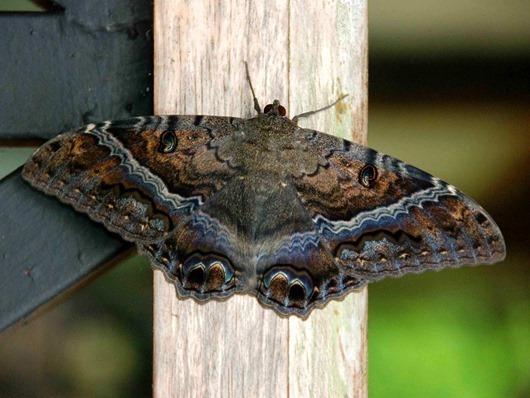 Black-Witch-Moth-Ascalapha-odorata