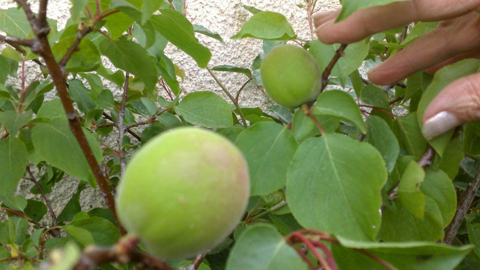 Mon arbre le de vivre le douaire des noyaux d abricots du march replant s en pleine terre - Planter un noyau d abricot ...