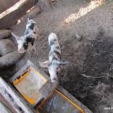 Nieuwe varkens