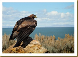 - Golden Eagle_ROT8795 February 19, 2012 NIKON D3S