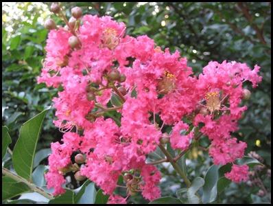 Hot-Pink-Crepe-Myrtle2