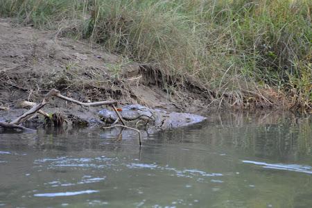 Crocodil de Gange