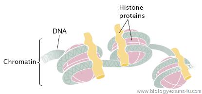 Histone Proteins