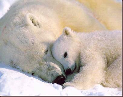 Amazing Animals Pictures Polic Bear (5)