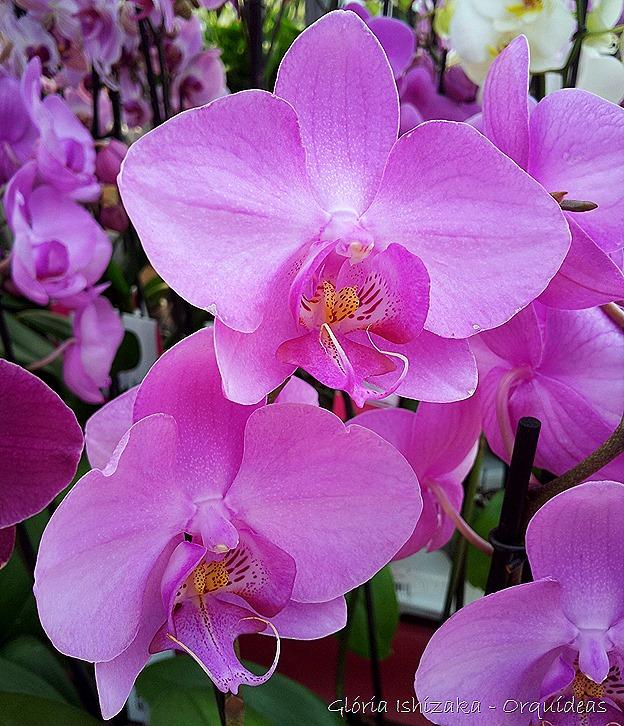Glória Ishizaka - orquideas 4