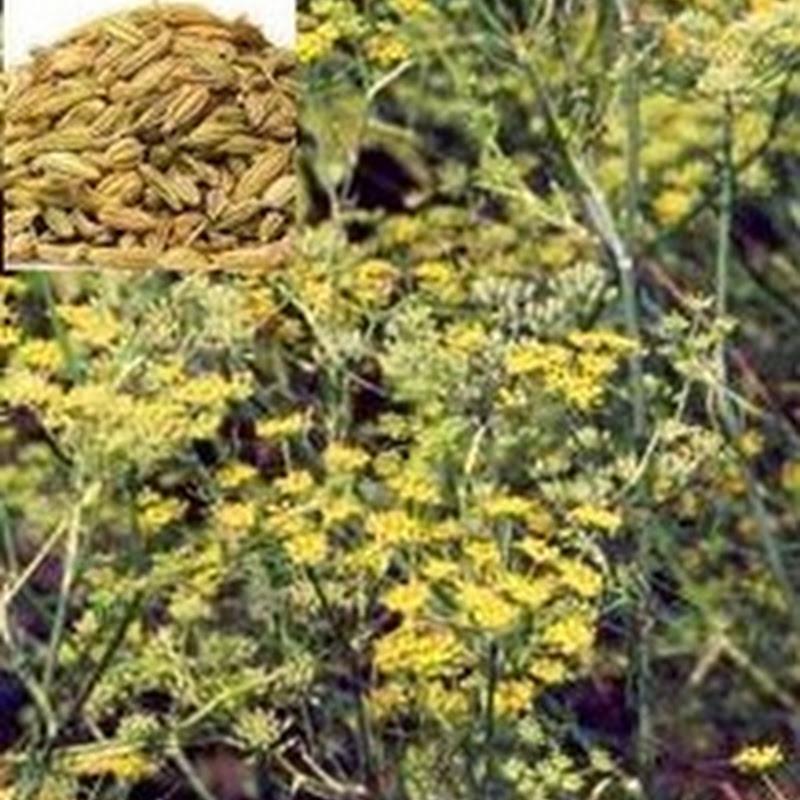 Adas | Foeniculum vulgare
