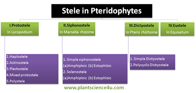 Types of stele in Pteridophytes