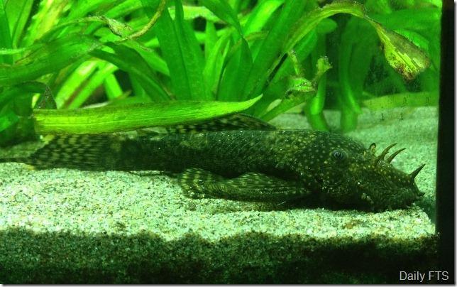 2-Bristlenose Catfish Ancistrus.36