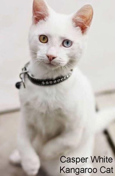Kangaroo cat Casper White